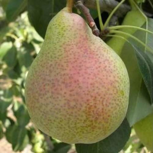 Груша лесная красавица: растим морозостойкую культуру в саду