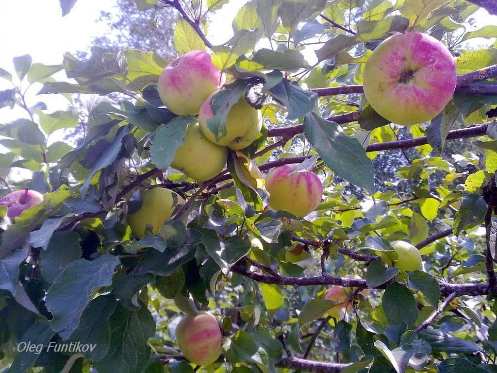 Яблоня память исаева