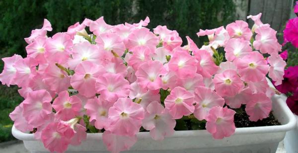 Многоцветковая петуния (30 фото): смеси мультифлоры «княжна f1» и «пендолино», «селебрити» и «мираж», отзывы