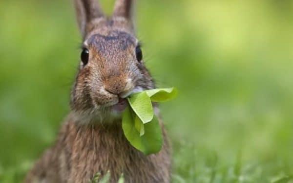 Чем кормить кроликов в домашних условиях?