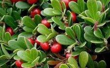 Лечебные и полезные свойства ягод можжевельника