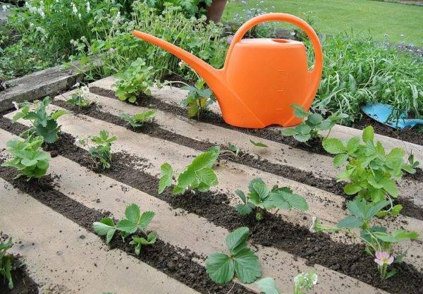 Ваш первый сад: как правильно посадить клубнику весной в открытый грунт