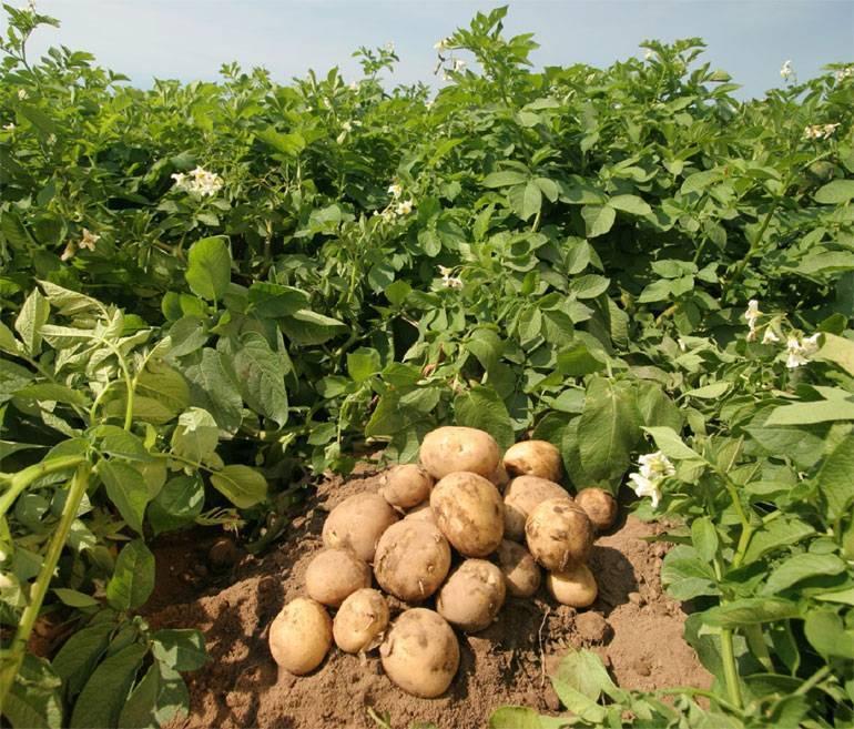 Картофель ривьера: характеристика сорта, отзывы, урожайность, вкусовые качества