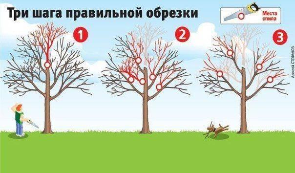 Все о правилах обрезки плодовых деревьев: как обрезать, формирование кроны