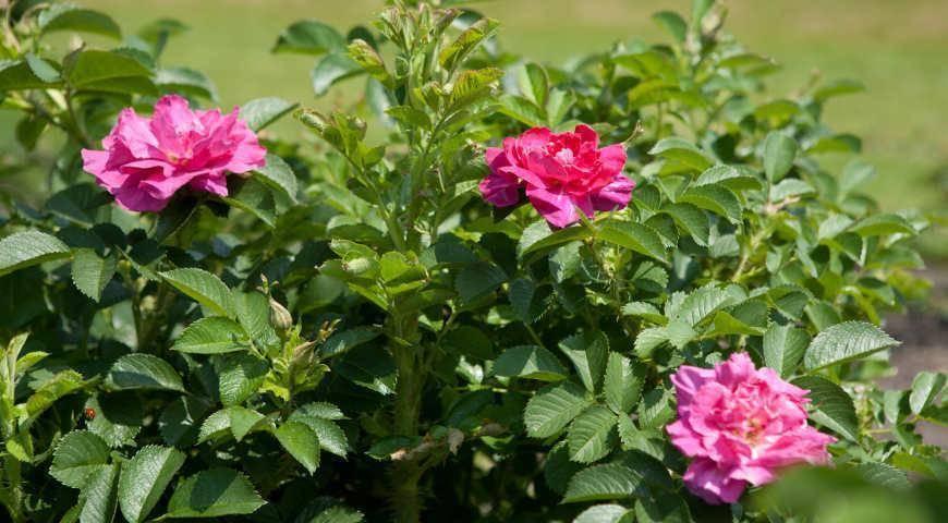 Выращивание роз в открытом грунте – необходимые сведения