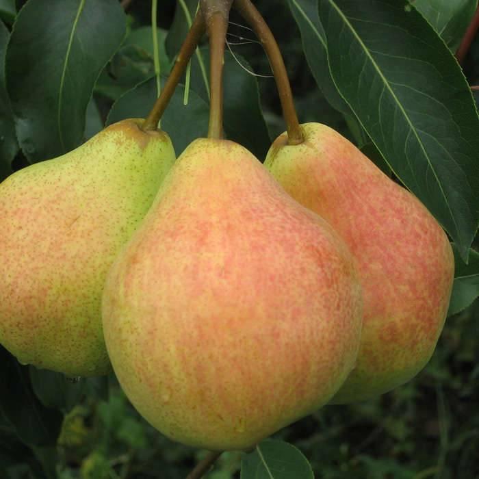 Груша сорта лада — описание и особенности выращивания