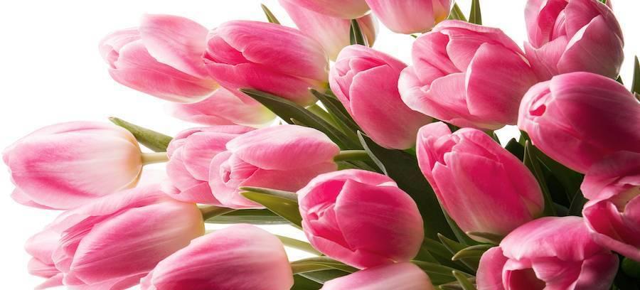 Тюльпан (tulipa). описание, виды и выращивание тюльпанов
