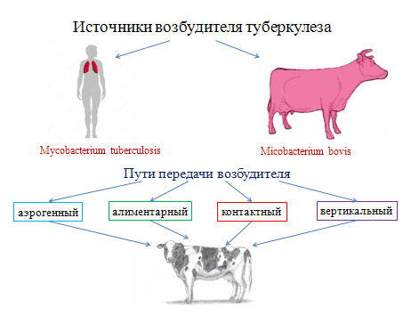 Что делать при туберкулезе у крупного рогатого скота (лечение КРС)