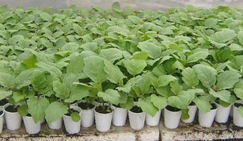 Условия и особенности выращивания баклажанов в домашних условиях, в открытом грунте: посадка, уход и уборка. польза и вред баклажанов для организма