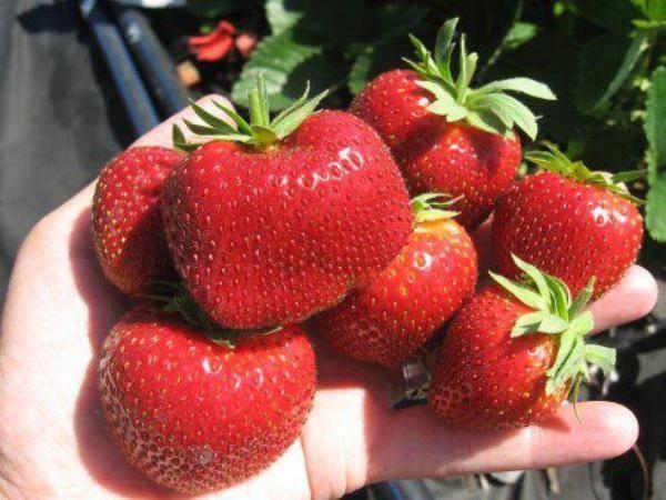 Секреты выращивания клубники мальвина на своем участке - общая информация - 2020