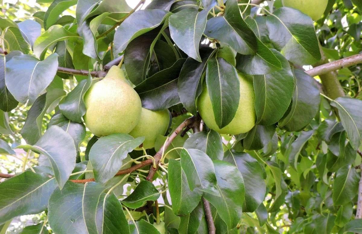 Груша красуля: описание сорта, фото, отзывы садоводов, морозостойкость, особенности выращивания, видео