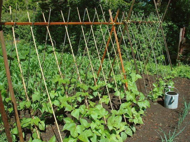 Выращивание фасоли – как правильно посадить и ухаживать, возможные болезни