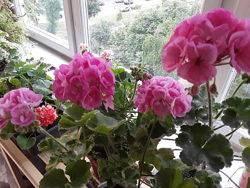 Описание сорта пеларгонии пак вива розита: как выращивать и ухаживать за цветком