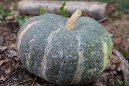 Тыква Мраморная: описание сорта, особенности выращивания в грунте