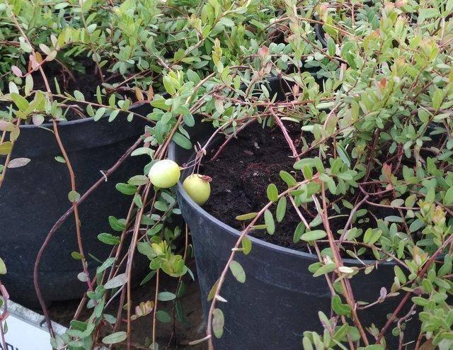 Лучшие сорта крупноплодной клюквы - ягодные культуры - смолдача - портал дачников, садоводов и любителей загородной жизни