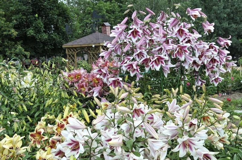 Лилии посадка и уход в открытом грунте (в саду) и фото