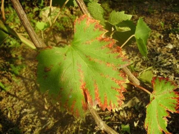 Краснуха у винограда: лечение и эффективные методы борьбы с красными пятнами