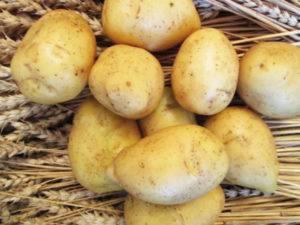 Столовый среднеспелый сорт картошки алуэт — нюансы выращивания