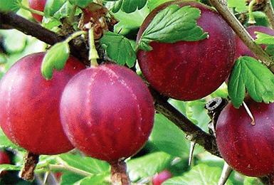 Крыжовник Колобок: описание и характеристики сорта, посадка и выращивание