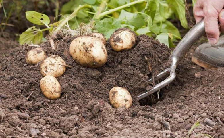 Какое удобрение лучше для картофеля при посадке - виды удобрений