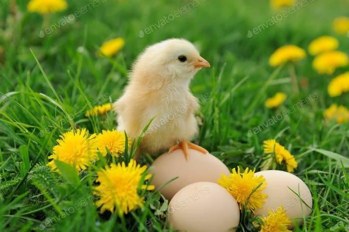 Кормление цыплят мясных и яичных пород в домашних условиях