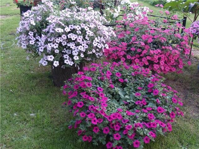 Все о сорте петунии Джоконда: как выглядит, описание, размер цветка, выращивание