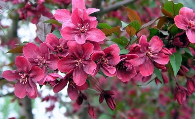 Декоративные яблони: сорта с фото и описанием