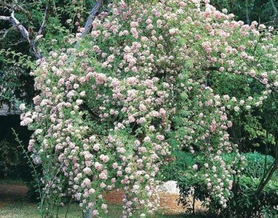 Розы рамблер