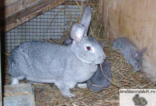Шиншилловый кролик (55 фото): описание и характеристики породы, какой вес, отзывы