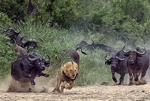 Дикие быки — буйволы