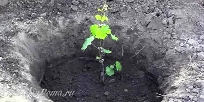 На каком расстоянии сажать виноград друг от друга: советы и рекомендации профессионалов по посадке винограда на приусадебном участке (125 фото и видео)