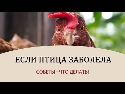 Инструкция по применению тилозина  у цыплят, индюшат. рассчитайте оптимальную дозу препарата для птиц. изучите широту антибактериального эффекта тилозина в птицеводстве. улучшите эффективность терапии на 200%