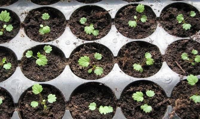 Посадка земляники семенами на рассаду: сроки и правила, когда сажать по лунному календарю
