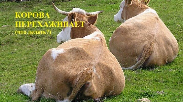 Методы определения стельности у коров