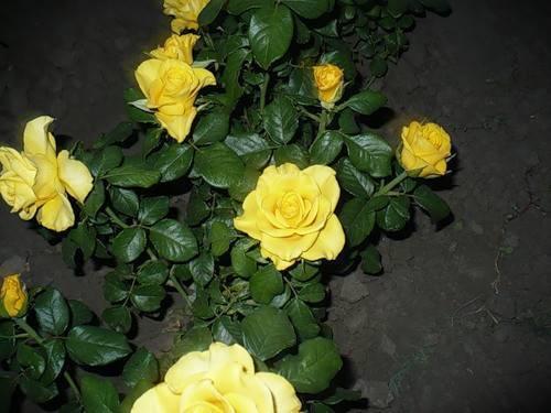 О розе Керио (Kerio): описание и характеристики сорта чайно-гибридной розы