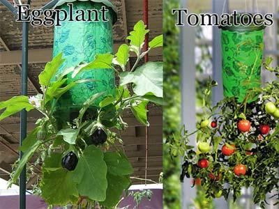 Помидоры вверх ногами – выращивание растений в перевернутом виде: зачем нужна вертикальная посадка томатов вниз головой, как правильно подготовить тару для корней?