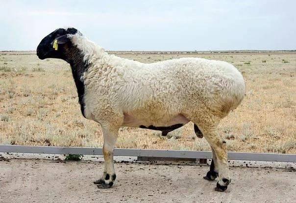 Жирохвостые овцы