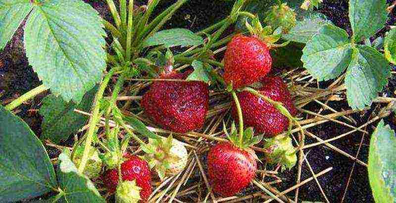 Секреты выращивания клубники в сибири и ухода за ней в холодном климате