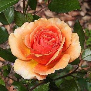 Роза ашрам - украшение приусадебного участка