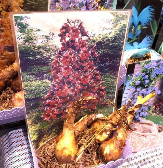 Лилейное дерево — посадка и уход, сорта, названия и описание ?
