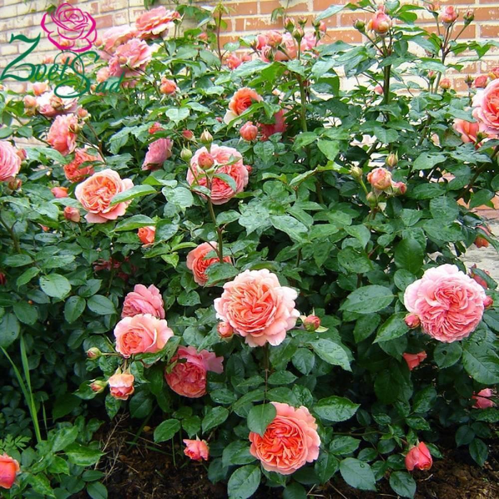 Роза английская саммер сонг