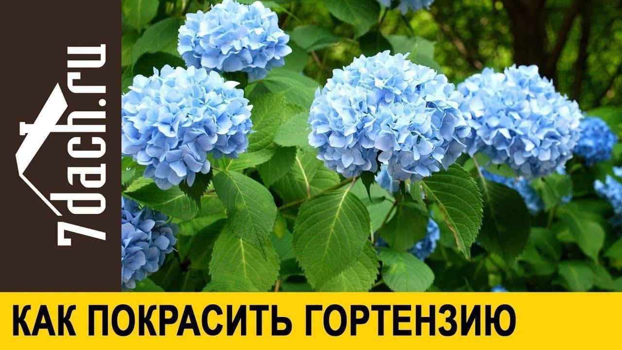 Как изменить цвет гортензии на голубой: чем полить, способы обработки растения
