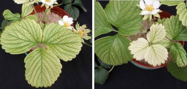 Хлороз растений – основные признаки и способы защиты растений
