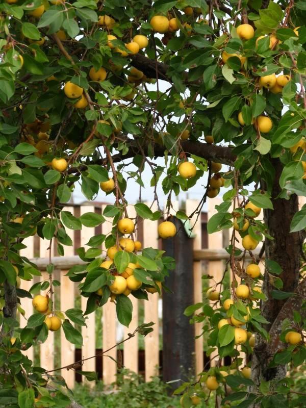 Яблоня уральское наливное: особенности сорта и ухода