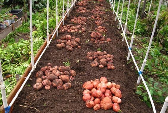 Как вырастить хороший урожай картофеля на маленьком участке, в огороде