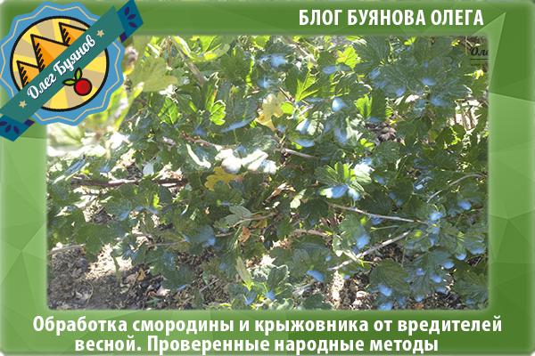 Обработка смородины весной от болезней и вредителей