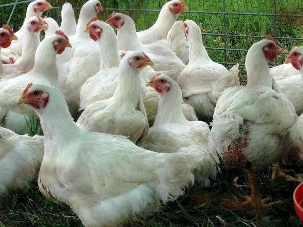 Сколько корма съедает бройлер до убоя: таблица рациона птиц
