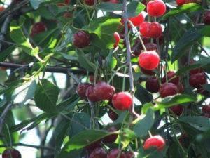 О лучших сортах вишни для Ленинградской области: самоплодных, самоопыляемых