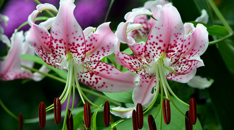Что следует делать, чтобы лилии цвели пышно