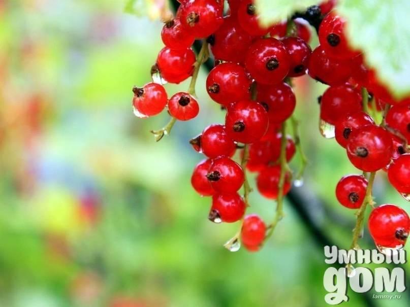 Обработка смородины от болезней и вредителей. как бороться с вредителями на красной и черной смородине? как и чем можно обработать смородину во время плодоношения